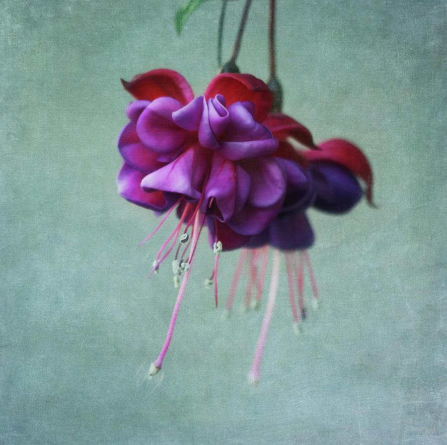 Horizontal Photograph - Fuschia Flower by Kim Hojnacki