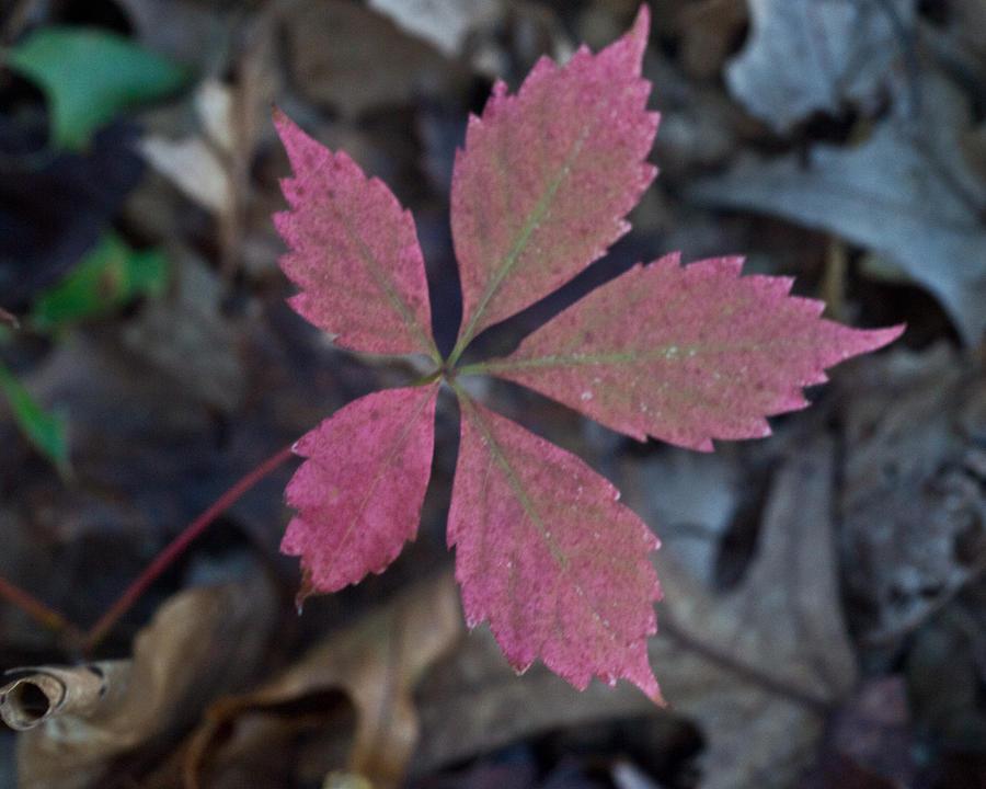 Fushia Photograph - Fushia Leaf by Douglas Barnett