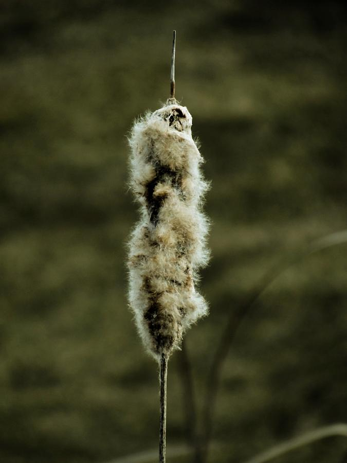 Cattail Photograph - Fuzzy Cattail  by Beth Akerman