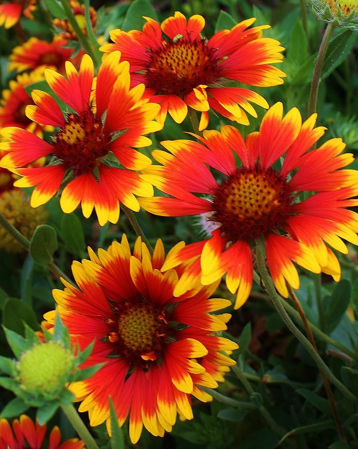 Flora Photograph - Gaillardia Patch by Bruce Bley