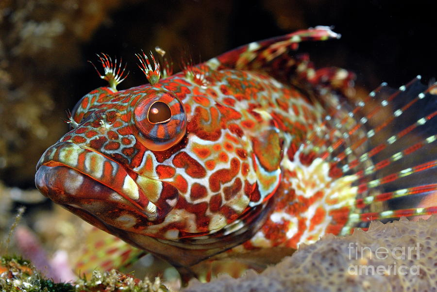 Loneliness Photograph - Galapagos Blenny by Sami Sarkis