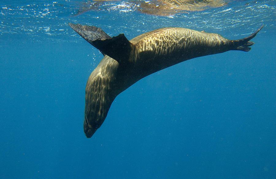 Galapagos Sea Lion Zalophus Wollebaeki Photograph by Pete Oxford