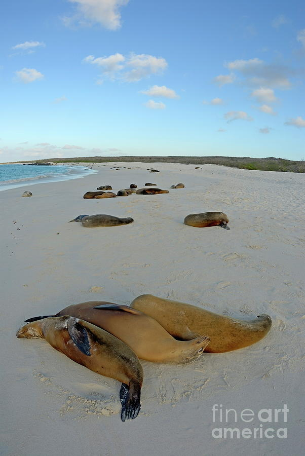 Serenity Photograph - Galapagos Sea Lions Sleeping On Beach by Sami Sarkis