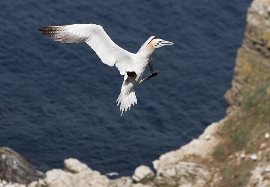 Animals Photograph - Gannet Landing by Howard Kennedy