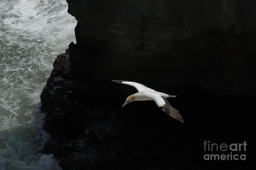 Gannets Photograph - Gannet New Zealand 4 by Bob Christopher