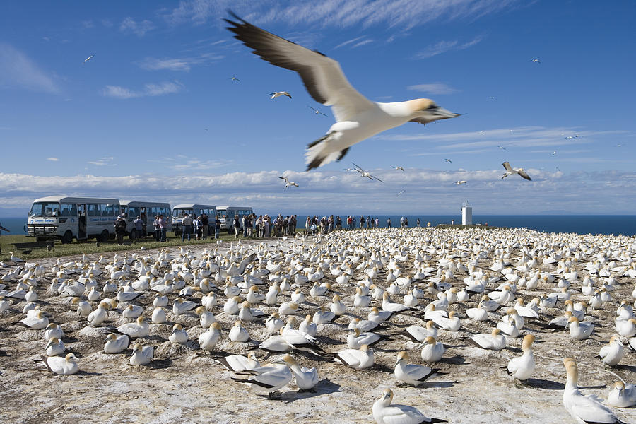 Horizontal Photograph - Gannet Safari At Cape Kidnappers Gannet Colony by Holger Leue
