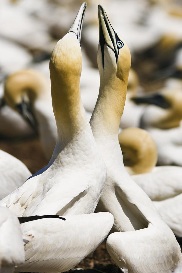 Animals In The Wild Photograph - Gannets, Parc National De by Yves Marcoux