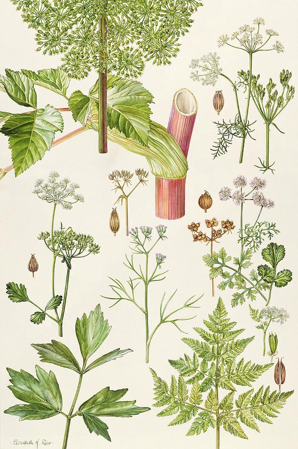 Botany Painting - Garden Angelica And Other Plants  by Elizabeth Rice