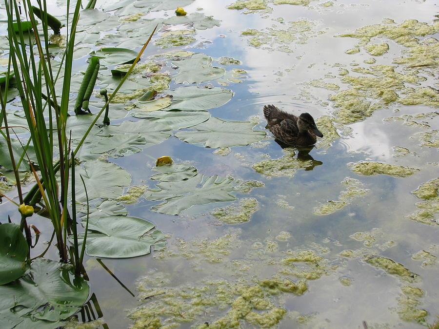 Duck Photograph - Garden Duck by Audra Crouch