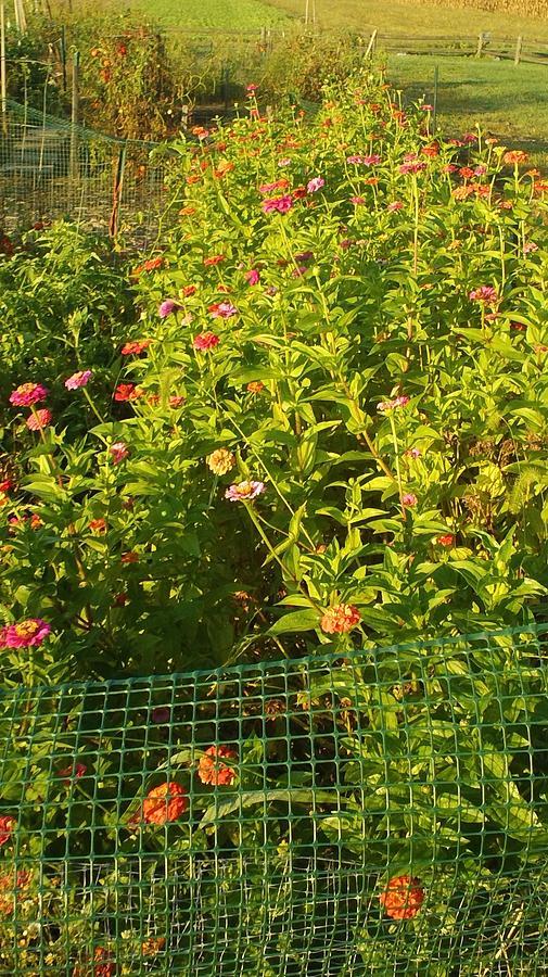 Garden Flowers Photograph - Garden Flowers Mixed Colors by Thelma Harcum