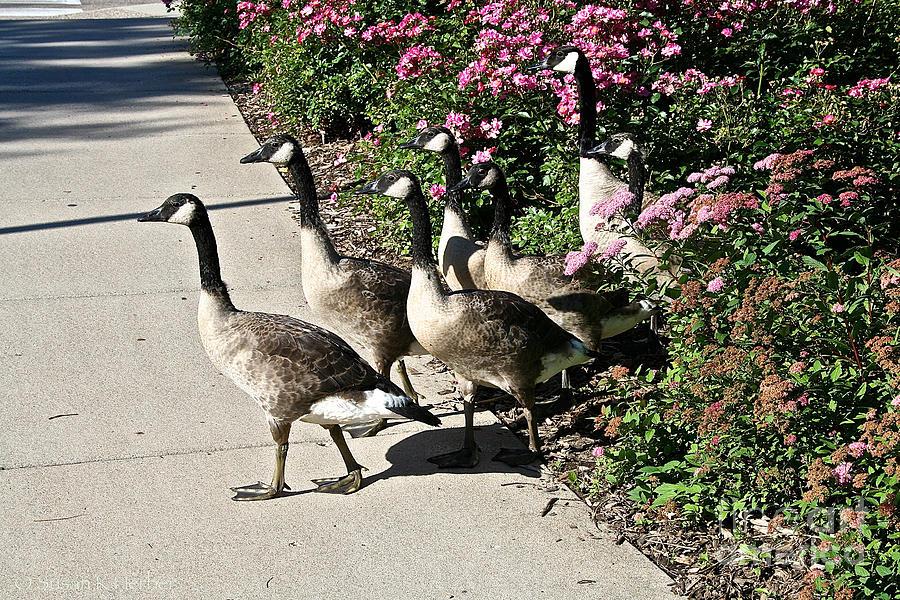 Goose Photograph - Garden Geese Parade by Susan Herber