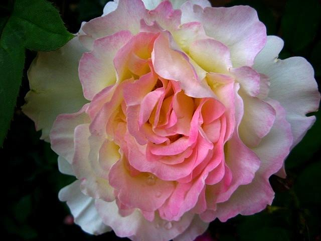 Rose Photograph - Garden Party  Time by Shirley Sirois