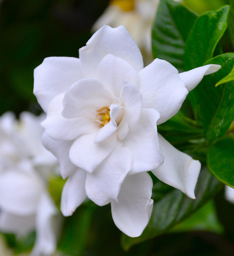 Photograph - Gardenia II by Lori Kesten
