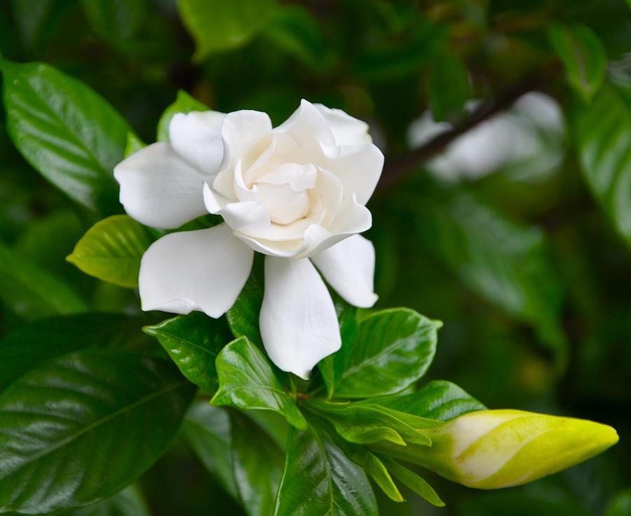 Gardenia Photograph by Lori Kesten