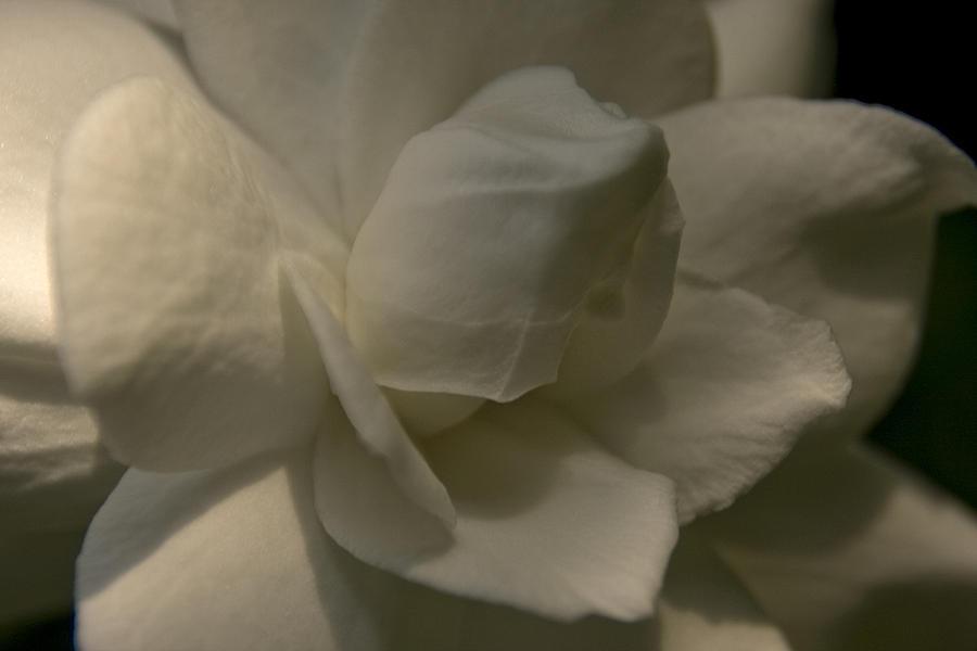 Gardenia by Margaret Denny