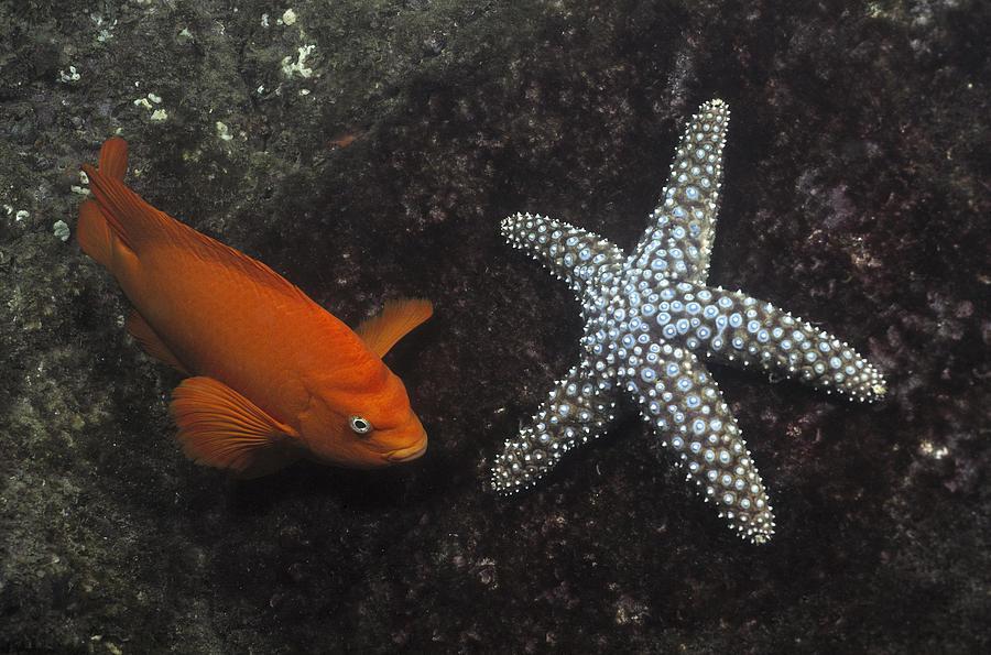 Animals Photograph - Garibaldi With Starfish Underwater by Flip Nicklin