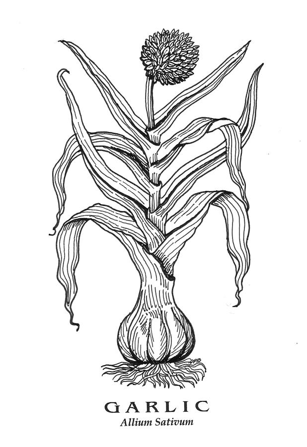 Garlic botanical by David Burkart