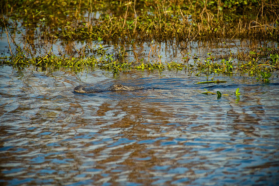 Alligator Photograph - Gater On The Move by Cindy Tiefenbrunn