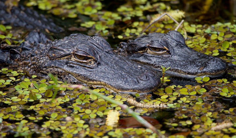 Alligator Photograph - Gator Babies by Andres Leon