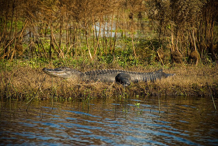 Alligator Photograph - Gator Break by Cindy Tiefenbrunn