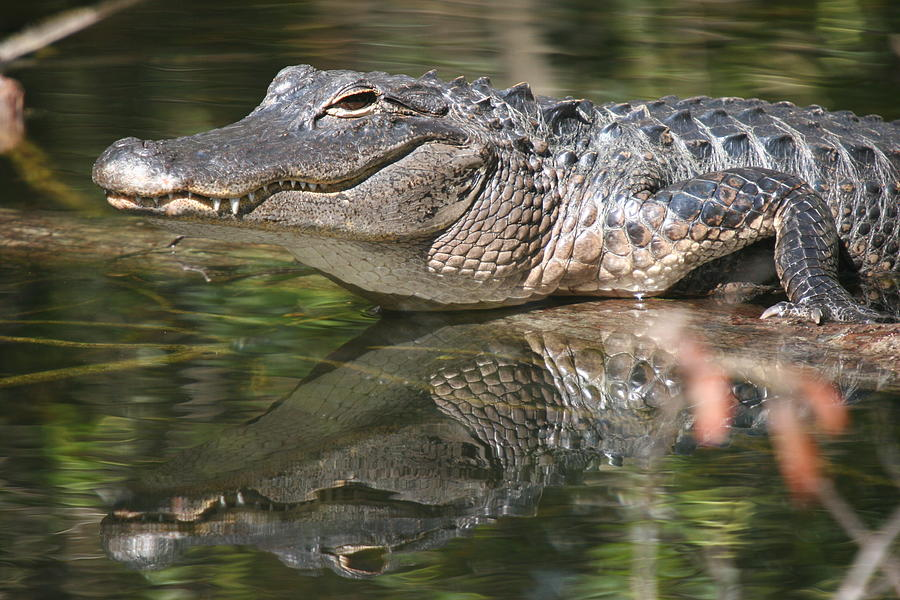 Smiling Alligator Reflection Photograph
