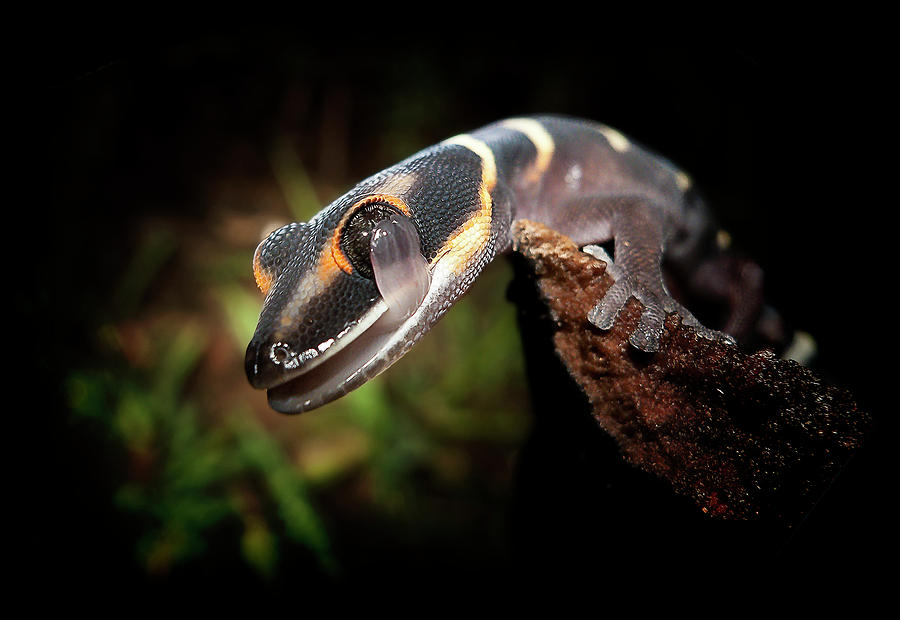 Horizontal Photograph - Gecko by Kristian Bell