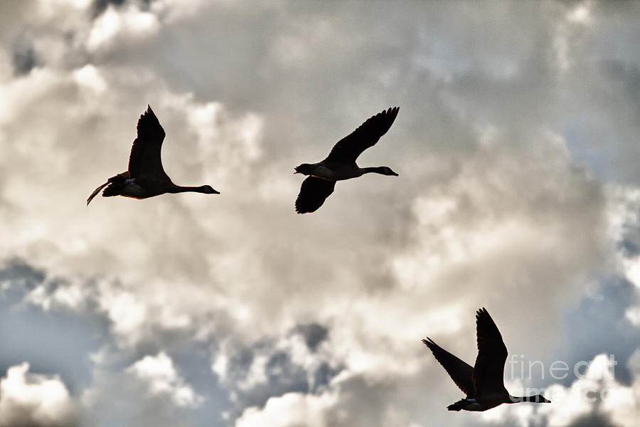 Geese Photograph - Geese Against The Sky by Christopher Purcell