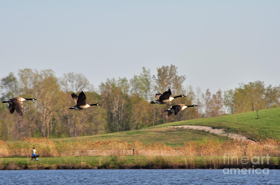 Nature Photograph - Geese Flying by Ginger Harris