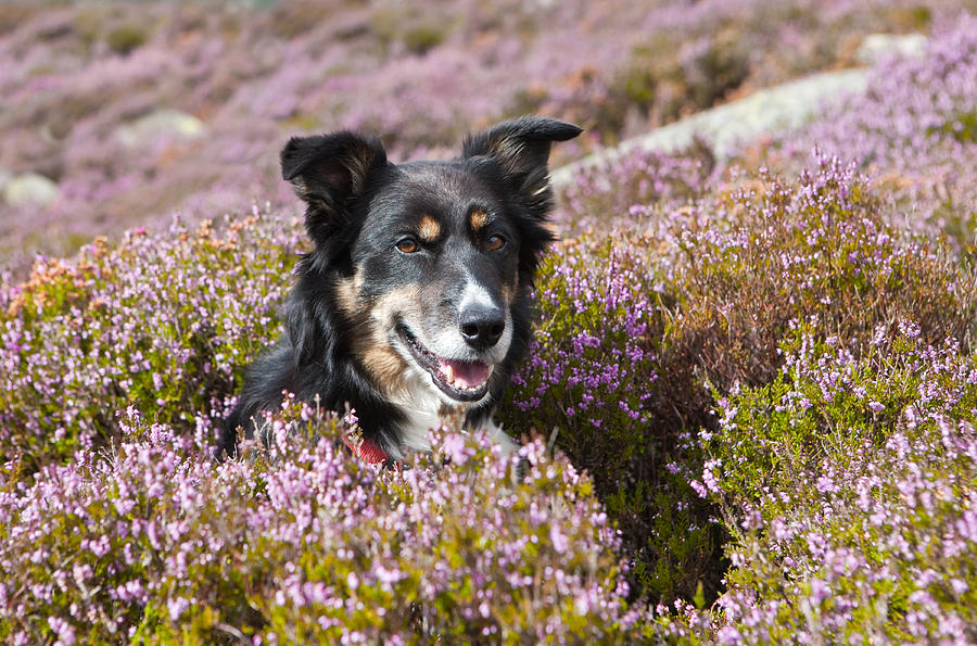 Welsh Sheepdog Photograph - Gelert - My Dog by Rory Trappe