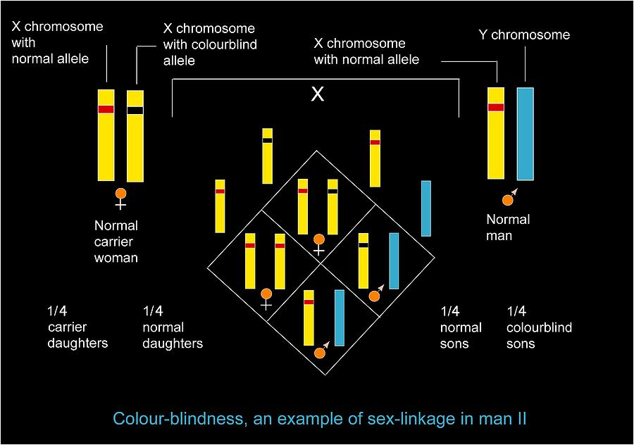 Colour Blindness Photograph - Genetics Of Colour Blindness, Diagram by Francis Leroy, Biocosmos