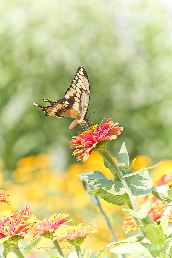 Swallowtail Photograph - Gentle Landing by Straublund Photography