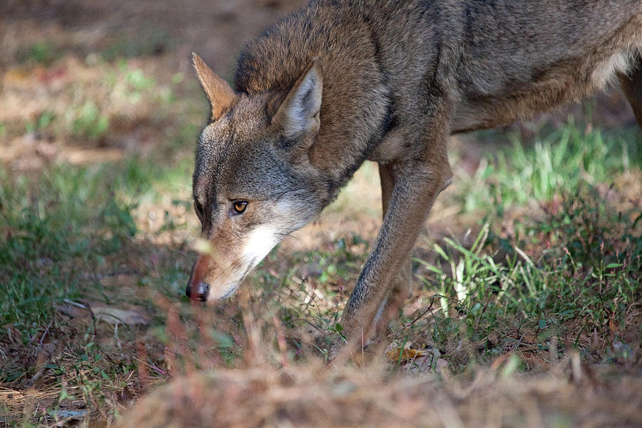 Wolf Photograph - Gentle Wolf by Karol Livote