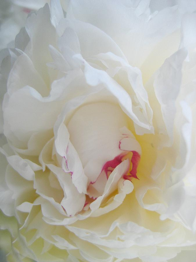 Floral Photograph - Gently Unfolding by Shirley Sirois