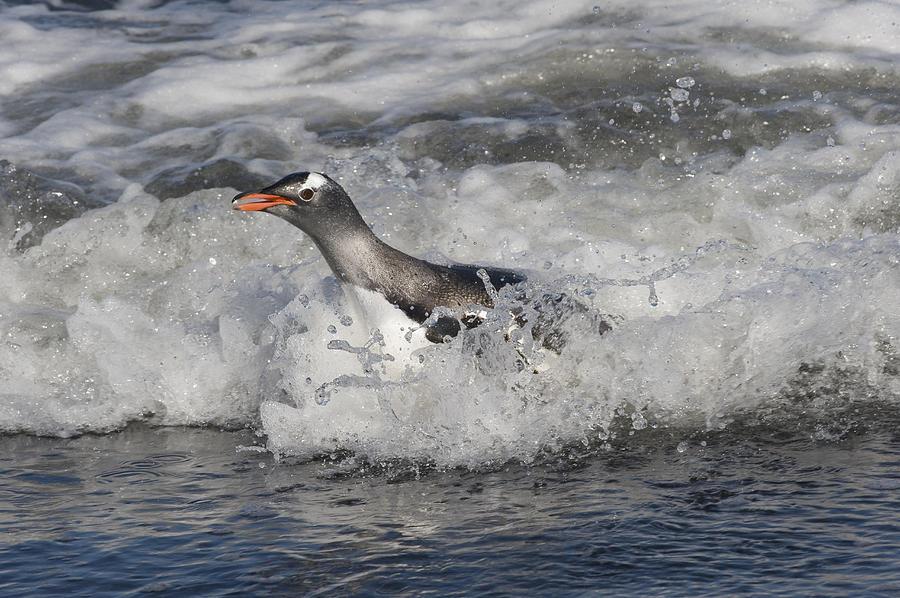Gentoo Penguin Riding Surf To Shore Photograph by Flip Nicklin
