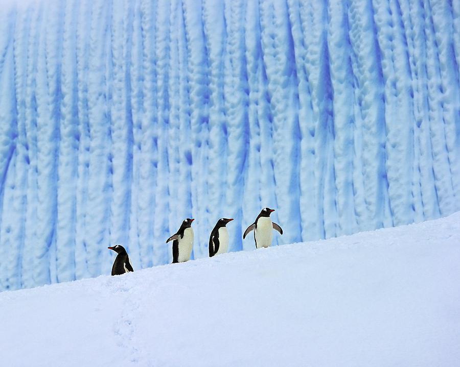 Bird Photograph - Gentoos On Ice by Tony Beck