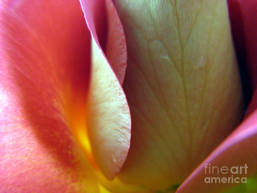 Rose Photograph - Genuine by Stacey Zimmerman