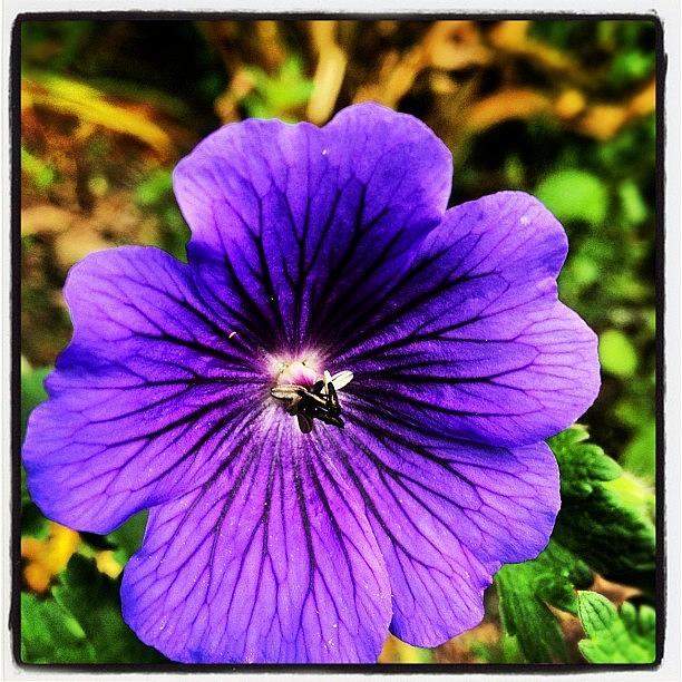 Blue Photograph - #geranium  #johnson Blue #flower Petals by Fay Pead