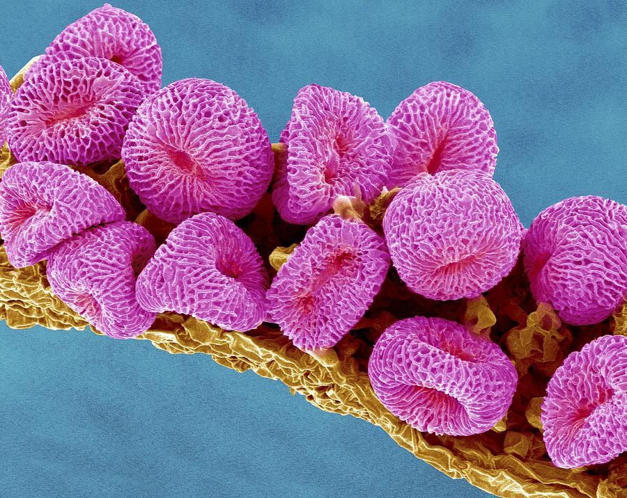 Gamete Photograph - Geranium Pollen, Sem by Susumu Nishinaga