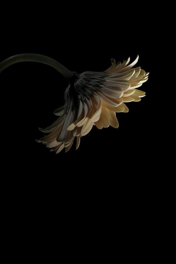 Flower Photograph - Gerbera Daisy by Nathaniel Kolby