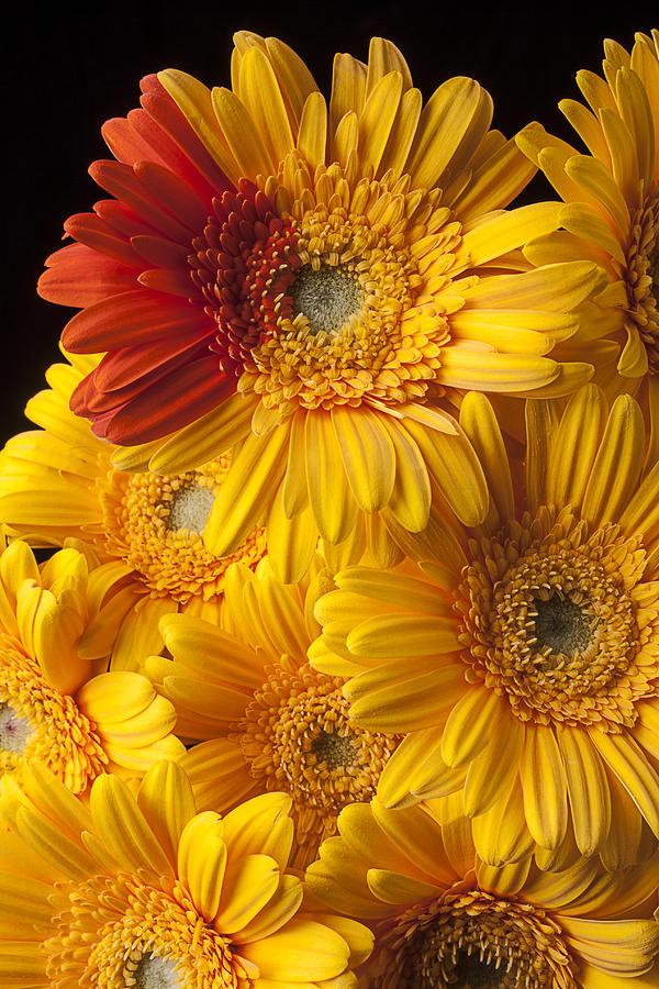 Gerbera Photograph - Gerbera Daisy With Orange Petals by Garry Gay