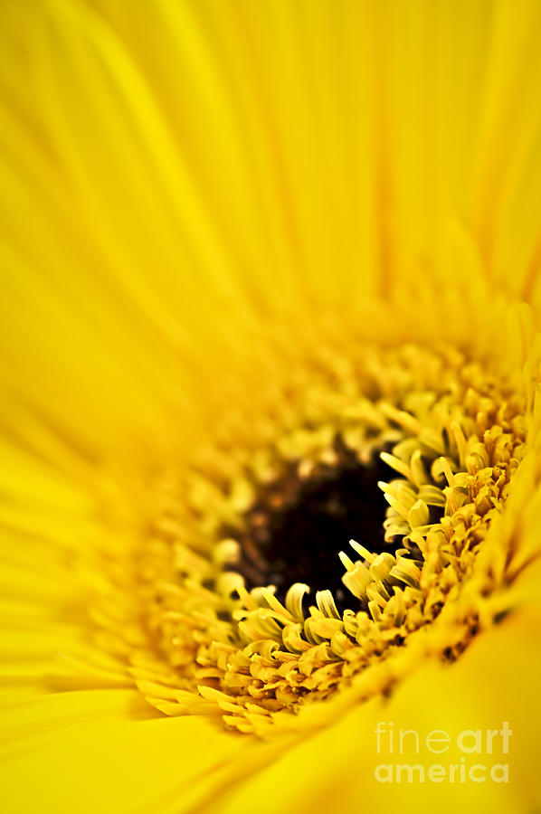 Flower Photograph - Gerbera Flower by Elena Elisseeva