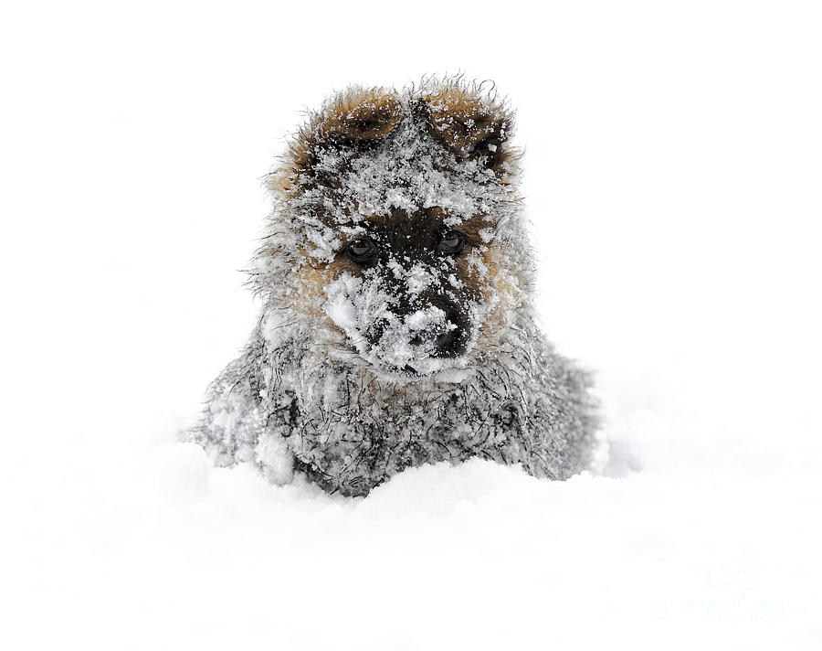 Dog Photograph - German Shepherd In The Snow by Gualtiero Boffi