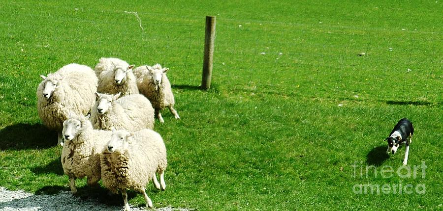 Sheep Photograph - Get Around  by Therese Alcorn