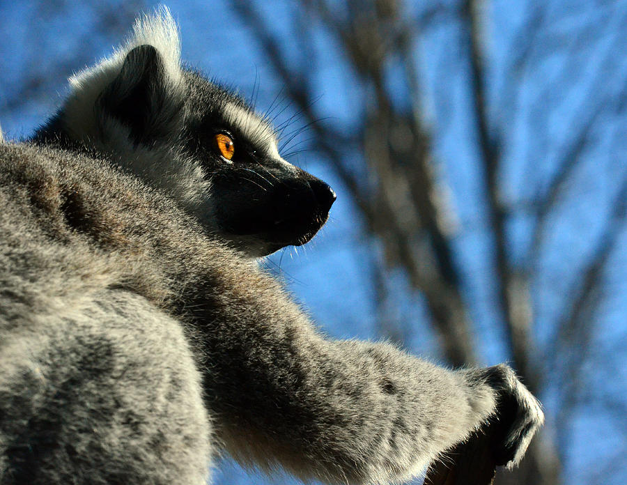Lemur Photograph - Get Ready Here I Come by Sandi OReilly
