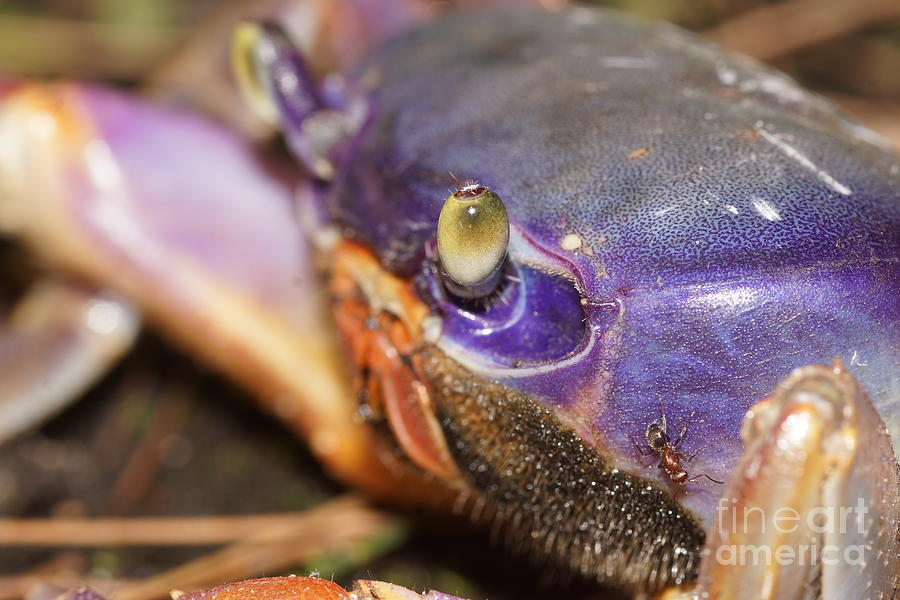 Giant Land Crab Photograph - Getting Antsy by Lynda Dawson-Youngclaus