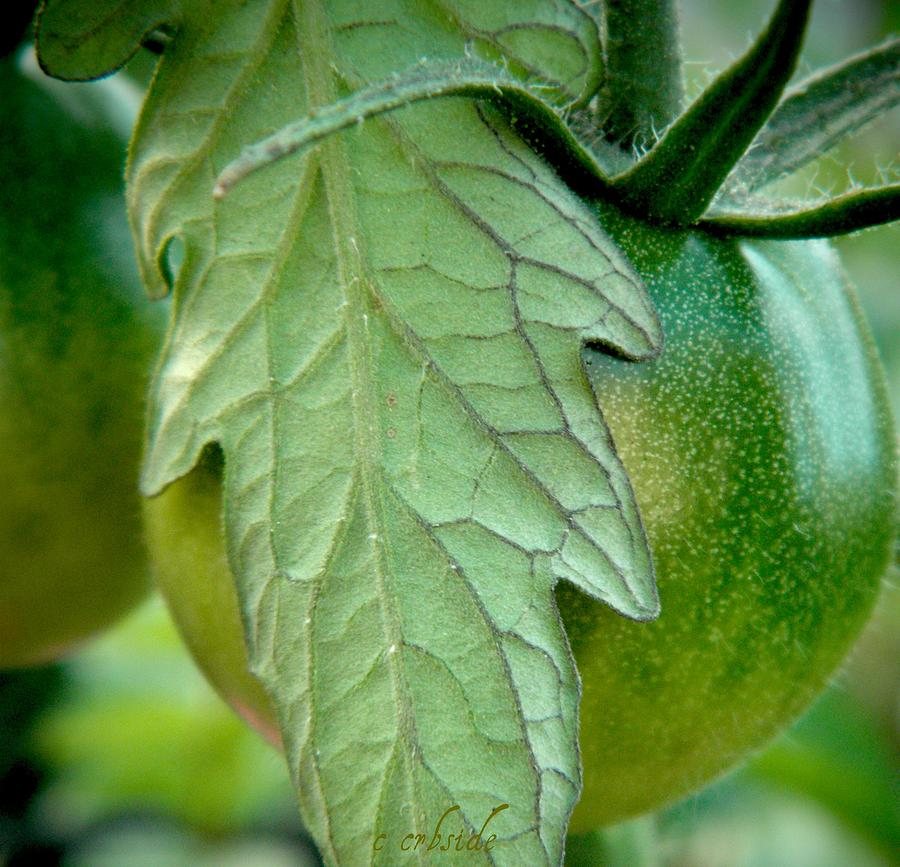 Tomato Photograph - Getting There by Chris Berry