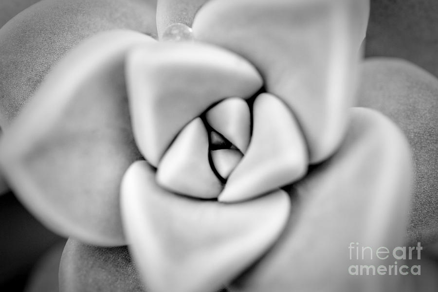 Ghost Plant Photograph - Ghost Petals by Pixel Perfect by Michael Moore