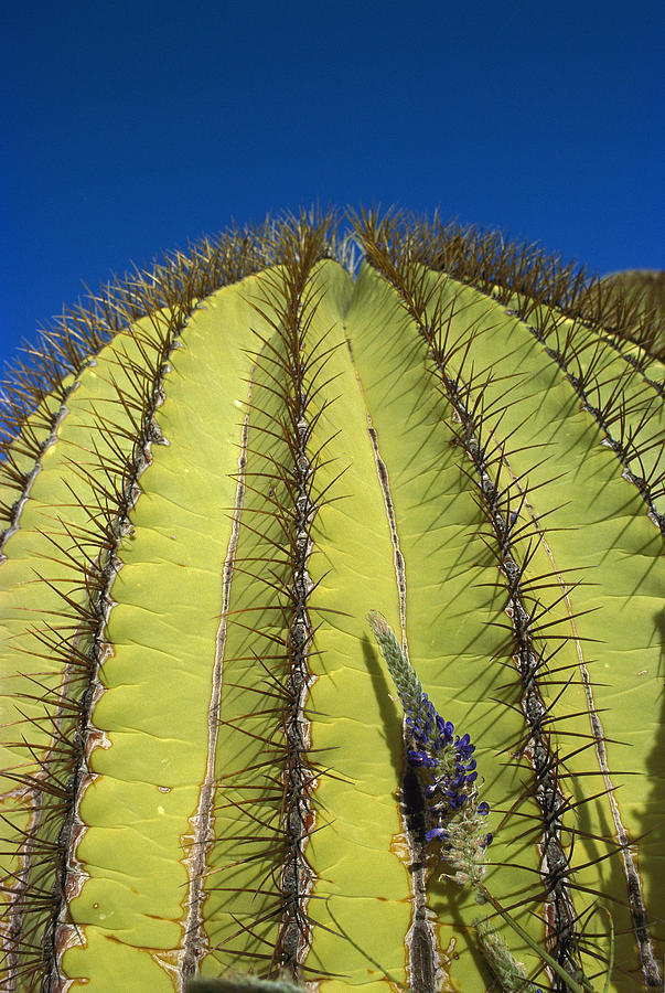 Mp Photograph - Giant Barrel Cactus Ferocactus Diguetii by Tui De Roy