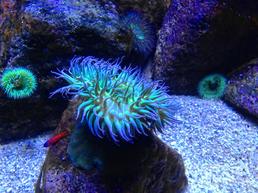 Giant Photograph - Giant Green Sea Anemone by Mariola Bitner