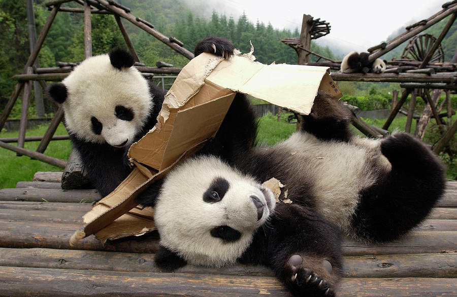 Giant Panda Cubs Playing Photograph By Katherine Feng